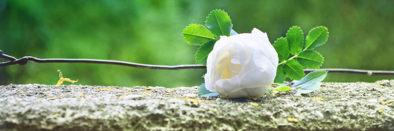 قالب زیبای گل رز سفید
