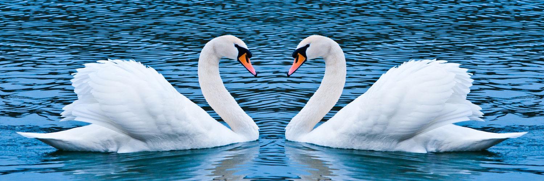 قالب زیبای دو قو عاشق