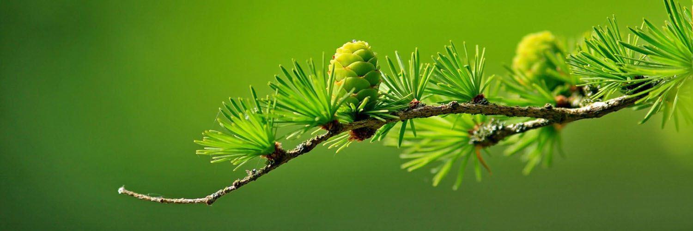 قالب زیبای درخت کاج