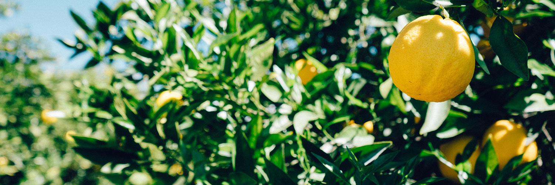 قالب زیبای درخت لیمو