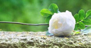 قالب وبلاگ گل رز سفید , گل رز سفید, گل رز, گل, قالب وبلاگ گل رز سفید, رز