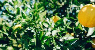 قالب وبلاگ درخت لیمو , لیمو, قالب وبلاگ درخت لیمو, درخت لیمو