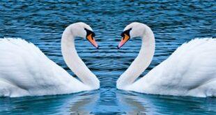 قالب وبلاگ دو قو عاشق , قو, قالب وبلاگ عاشقانه, قالب عاشقانه قو, قالب سه ستونه قو, عاشقانه