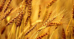 قالب وبلاگ گندم زار , مزرعه گندم, گندم زار, گندم, قالب وبلاگ گندم مزرعه, قالب وبلاگ گندم زار