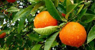 قالب وبلاگ درخت پرتقال , میوه, کد قالب وبلاگ پرتقال, کد قالب پرتقالی, کد قالب پرتقال بلاگفا, قالب وبلاگ پرتقالی, قالب وبلاگ پرتقال, قالب پرتقالی, قالب پرتقال بلاگفا, قالب پرتقال برای وبلاگ, قالب پرتقال برای بلاگفا, قالب پرتقال, سبز, درخت, پرتقال